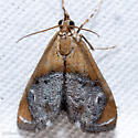 Sooty-winged Chalcoela - Chalcoela iphitalis