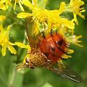 Tachinid Fly - Adejeania vexatrix
