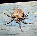 Unknown spider - Acanthepeira cherokee