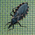 Cone-nosed bug--Triatoma sanguisuda? - Triatoma sanguisuga