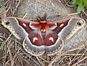 Glover's Silkmoth - Hyalophora columbia