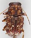 Case Bearer - Pachybrachis spumarius - male