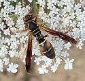 Paper Wasp? - Polistes fuscatus
