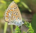 Lycaenidae ? - Polyommatus icarus