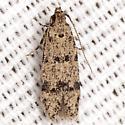 Unknown Twirler Moth
