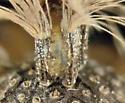Tephritidae - Tomoplagia obliqua