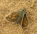 Common Branded Skipper,  - Hesperia comma - female