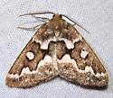 moth 4018 - Caripeta divisata - male