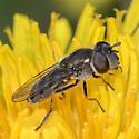 Platycheirus stegnus? - Platycheirus stegnus - female