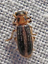 Checkered Beetle - Cregya oculata