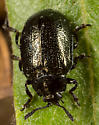 leaf beetle - Plagiodera californica