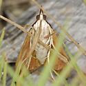 Pescadero Marsh Moth - Uresiphita reversalis