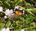 tiny butterfly - Annaphila lithosina