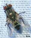 light and dark gray Muscoid Fly with blackish abdomen with thin whitish stripes, the middle stripe bridge-shaped