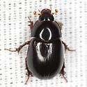 Scavenger Scarab Beetle - Hybosorus roei