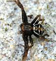 unknown large spider - Xysticus elegans