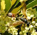 Thread waisted wasp  - Isodontia elegans