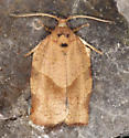 Tortricinae, Oblique-banded Leafroller - Choristoneura rosaceana