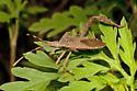 Family Coreidae: Acanthocephala  sp. - Leptoglossus gonagra