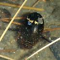 Diving beetle - Acilius mediatus