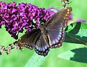 Red-spotted Purple - Limenitis arthemis