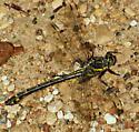 Gomphidae - Hagenius brevistylus - female