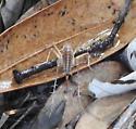 Orthoptera sp. - female