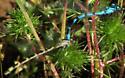 Boreal Bluet - Enallagma boreale - male - female