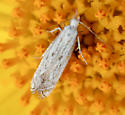 Pale gelechioid (?) on flower - Isophrictis