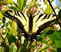 swaltail - Papilio rutulus
