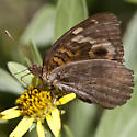 Tropical Buckeye - Junonia evarete
