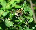 Clearwing Moth - Hemaris thetis