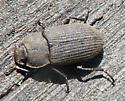Beetle - Gonocephalum