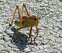 Grasshopper - Romalea microptera - male