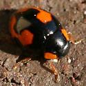 Ladybird Beetle - Hyperaspis connectens