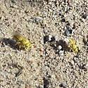 Small yellow wasp - Bembecinus quinquespinosus