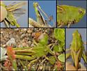 Mendocino Green-striped Grasshopper - Chortophaga mendocino - male