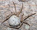 Arachnid - Araneus cavaticus