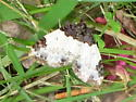 White-ribboned Carpet Moth - Mesoleuca ruficillata