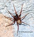 spider - Creugas