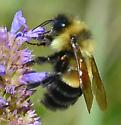 Bombus affinis? - Bombus affinis - male