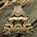 Moth - Bulia deducta