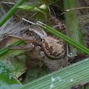 Crab Spider - Xysticus cristatus - female