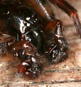 dark brown spider - Cybaeus reticulatus - male