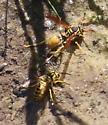 Mud Dauber Wasp - Mischocyttarus flavitarsis