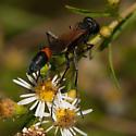 Podalonia - Cutworm Wasp? - Ammophila pictipennis