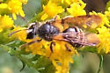 Small bee - Andrena nubecula - female