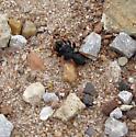 primitive spider sp? - Sphodros fitchi