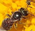 Miner bee? - Halictus tripartitus