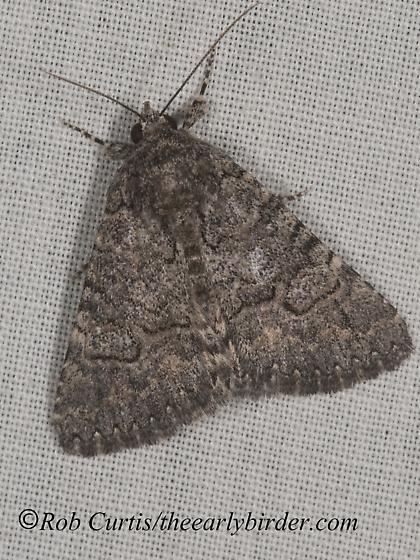 8036405 moth - Heteranassa mima